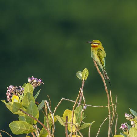 Green bee eater in Kalpitiya, Sri Lanka; specie Merops orientalis family of Meropidae