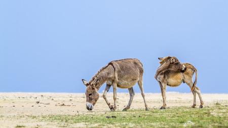 Mannar donkey in Kalpitiya, Sri Lanka; specie Equus asinus family of equidae Imagens