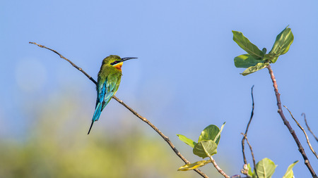 Blue-tailed bee-eater in Kalpitiya, Sri Lanka; Merops specie philippinus family of Meropidae