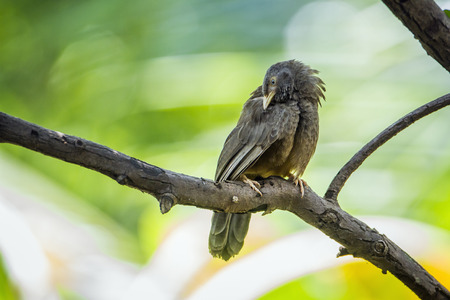 Yellow-billed babbler in Minneriya, Sri Lanka; specie Turdoides affinis family of leiothrichidae