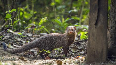Grey mongoose national park in Minneriya, Sri Lanka; Herpestes specie edwardsii family of Herpestidae Stock Photo