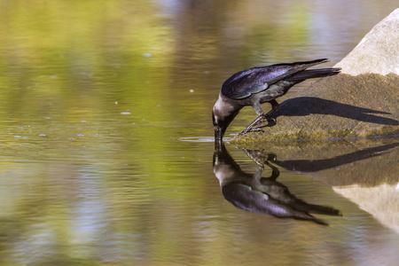 corvidae: House crow in Arugam bay lagoon, Sri Lanka; Corvus splendens specie family of Corvidae