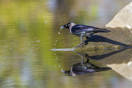 House crow in Arugam bay lagoon, Sri Lanka Corvus splendens specie family of Corvidae Stock Photo