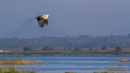 gray herons: Grey heron in Arugam bay lagoon, Sri Lanka; specie Ardea cinerea family of Ardeidae