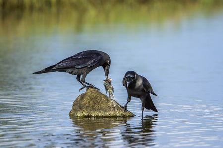 House crow in Arugam bay lagoon, Sri Lanka; Corvus splendens specie family of Corvidae