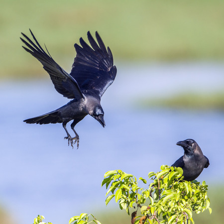 House crow in Arugam bay lagoon, Sri Lanka; Corvus splendens specie family of Corvidae