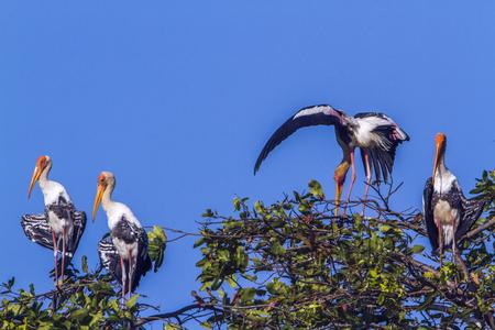 Painted stork in Arugam bay lagoon, Sri Lanka; specie Mycteria leucocephala family of Ciconiidae