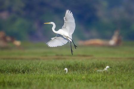 Great egret in Arugam bay lagoon, Sri Lanka; Ardea alba specie family of Ardeidae