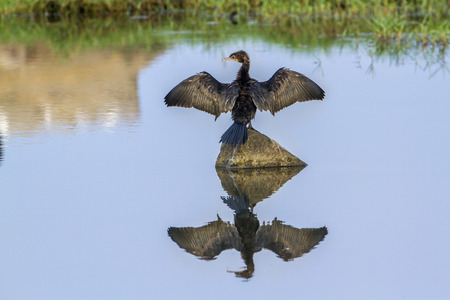 Little cormorant in Arugam bay lagoon, Sri Lanka; specie Phalacrocorax Niger family of Phalacrocoracidae Stock Photo