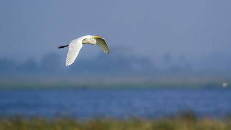 ardeidae: Great egret in Arugam bay lagoon, Sri Lanka; Ardea alba specie family of ardeidae