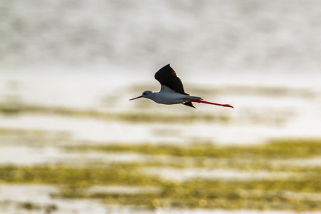 Black-winged stilt in Arugam bay lagoon, Sri Lanka; specie Himantopus himantopus family of Charadriidae