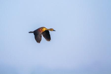 Lesser whistling duck in Arugam bay lagoon, Sri Lanka; specie Dendrocygna javanica family of anatidae