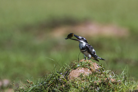 Pied kingfisher in Arugam bay lagoon, Sri Lanka; specie Ceryle rudis family of Alcedinidae