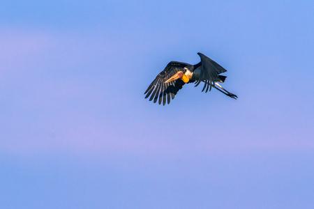 Lesser adjutant flying isolated in blue sky; specie Leptoptilos javanicus family of Ciconiidae
