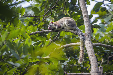 grizzled: Grizzled giant squirrel in national park Minneriya, Sri Lanka; specie Ratufa macroura family of Sciuridae