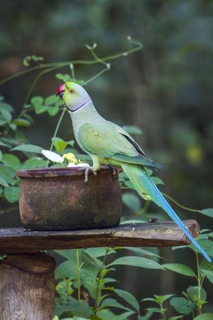 specie: Rose-ringed parakeet in national park Minneriya, Sri Lanka; specie Psittacula krameri family of Psittacidae