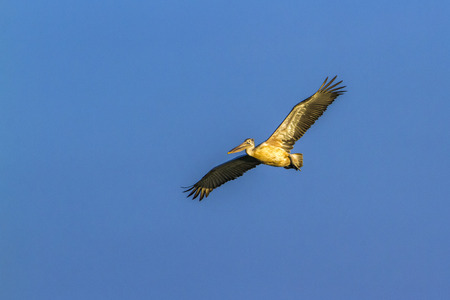 Spot-billed pelican flying isolated in blue sky; Pelecanus family of specie philippensis Stock Photo