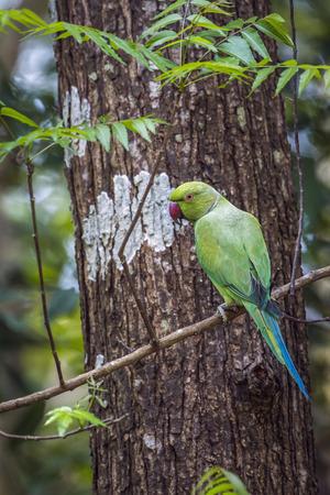 specie: Rose-ringed parakeet in Minneriya, Sri Lanka; specie Psittacula krameri family of Psittacidae Stock Photo