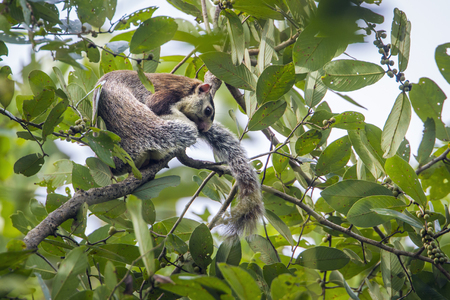grizzled: Grizzled giant squirrel in Minneriya, Sri Lanka; specie Ratufa macroura family of Sciuridae Stock Photo