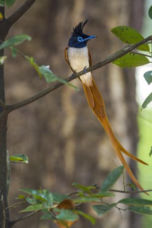 Asian paradise flycatcher in Minneriya, Sri Lanka; specie Terpsiphone paradisi family of Monarchidae