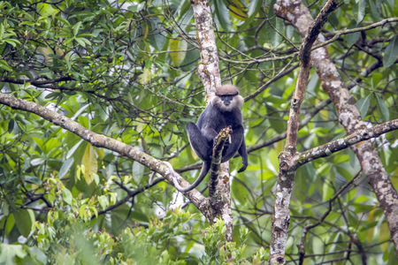 Purple-faced langur in Sinharaja forest reserve, Sri Lanka; Specie rachypithecus vetulus family of Cercopithecidae