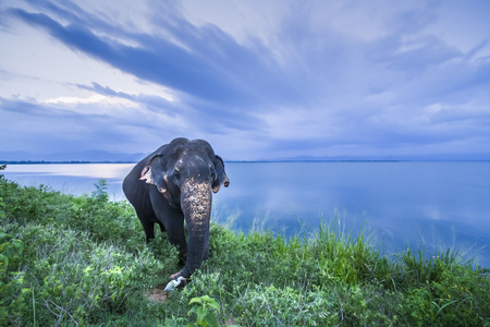 Asian elephant in Uda Walawe National Park, Sri Lanka; specie Elephas maximus maximus family of Elephantidae
