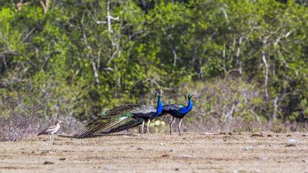 phasianidae: Indian peafowl in Bundala National Park, Sri Lanka; specie Pavo cristatus family of Phasianidae