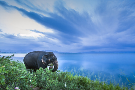 specie: Asian elephant in Uda Walawe National Park, Sri Lanka; specie Elephas maximus maximus family of Elephantidae