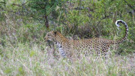 felidae: Leopard in Yala National Park, Sri Lanka; Specie Panthera pardus family of felidae