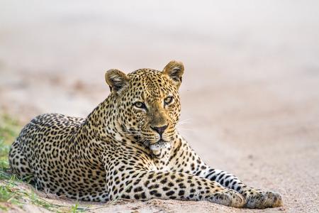 Leopard in Yala National Park, Sri Lanka; Specie Panthera pardus family of felidae