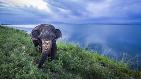 specie: Sri Lankan elephant in Uda Walawe National Park, Sri Lanka Elephas maximus maximus specie family of Elephantidae