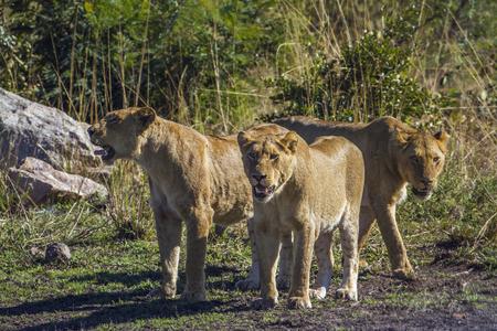 specie: Specie Panthera leo family of Felidae