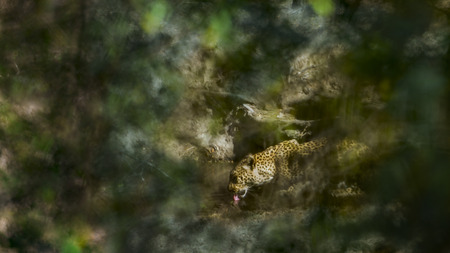 felidae: Leopard in Kruger National Park, South Africa; Specie Panthera pardus family of felidae Stock Photo