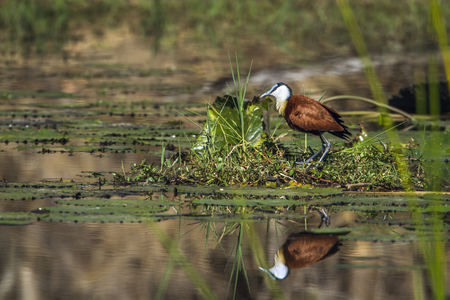 jacana: African Jacana in Kruger National Park, South Africa; Specie Actophilornis africanus family of Jacana