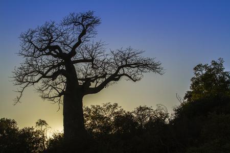 digitata: Baobab tree landscape in Kruger National Park, South Africa; Specie Adansonia digitata family of Malvaceae Stock Photo