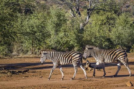 Plains zebra in South Africa; Specie Equus quagga burchellii family of Equidae