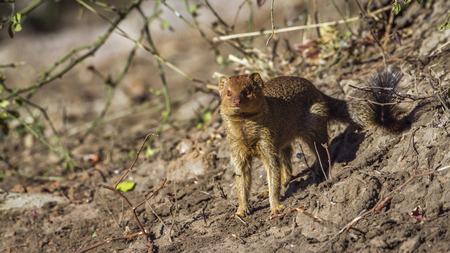 Slender mongoose in South Africa; Specie Galerella sanguinea family of Herpestidae