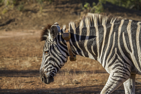 Plains zebra in  South Africa; Specie Equus quagga burchellii family of Equidae