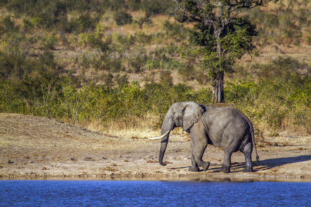 African bush elephant in  South Africa; Specie Loxodonta africana family of Elephantidae Stock Photo