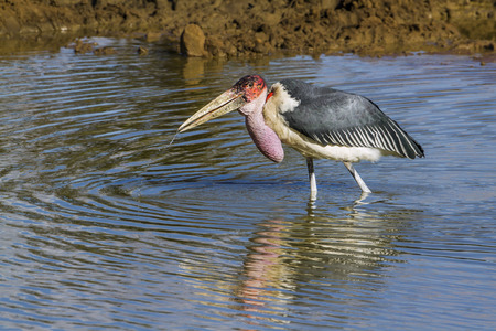 Marabou stork in South Africa; Specie Leptoptilos crumenifer family of Ciconiidae Stock Photo