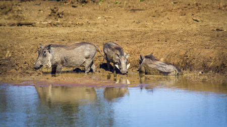 Common warthog in South Africa; Specie Phacochoerus africanus family of Stock Photo