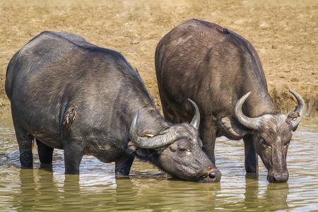 zimbabwe: Búfalos africanos en Sudáfrica; Especie Syncerus caffer familia de Bovidae