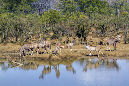 Greater kudu in  South Africa; Specie Tragelaphus strepsiceros family of Bovidae