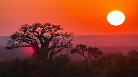 digitata: Baobab tree in  South Africa; Specie Adansonia digitata family of Malvaceae Stock Photo
