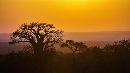 Baobab tree in  South Africa; Specie Adansonia digitata family of Malvaceae 写真素材