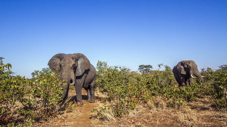 African bush elephant in South Africa; Specie Loxodonta africana family of Elephantidae