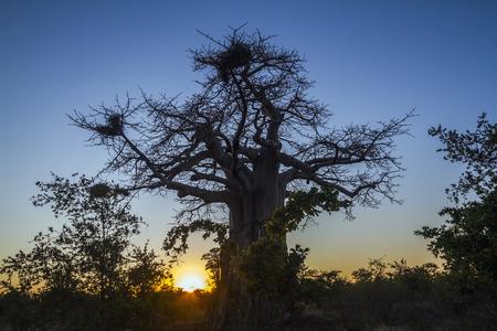 digitata: Baobab tree