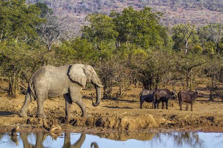bovidae: African bush elephant