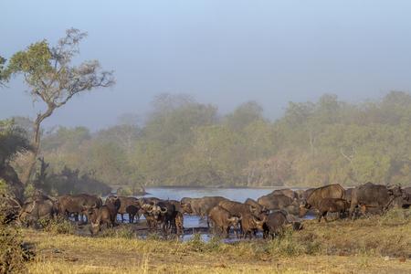 bovidae: African buffalo in  South Africa; Specie Syncerus caffer family of bovidae