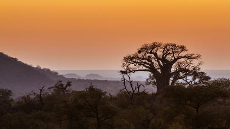 digitata: Baobab tree in Kruger National Park, South Africa; Specie Adansonia digitata family of Malvaceae